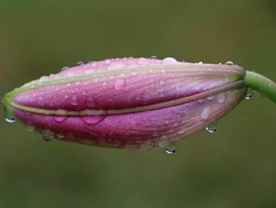 Photograph - Sweet Pink Lily by The Art Of Marilyn Ridoutt-Greene