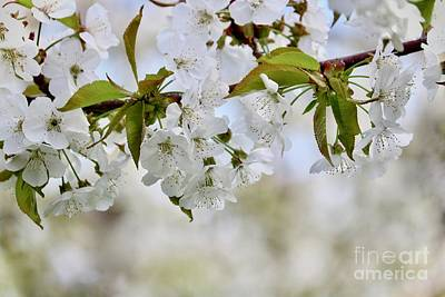 Photograph - Sweet White Cherry Blossoms by Carol Groenen