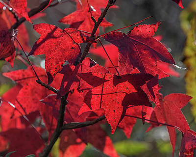 Photograph - Sweetgum Leaves Df011 by Gerry Gantt