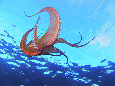 Photograph - Swimming Octopus by Alex Bramwell