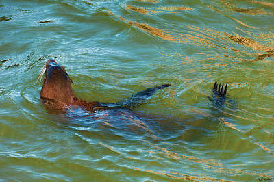 Photograph - Swimming Seal by Dee Browning