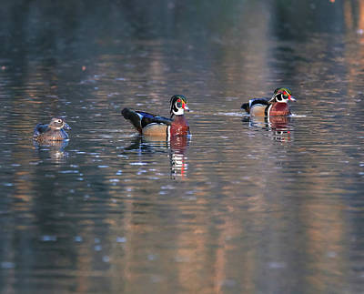 Photograph - Swimming Wood Ducks Reflection by Dan Sproul