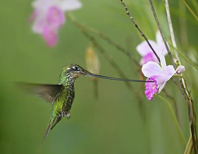 Photograph - Sword-billed Hummingbird Ensifera by Tim Fitzharris/ Minden Pictures