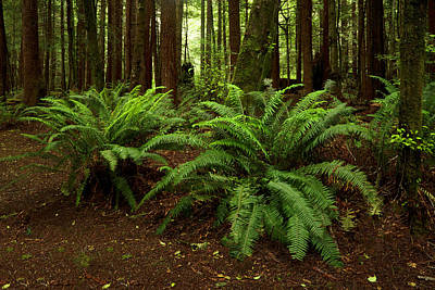 Photograph - Sword Ferns by TL Mair