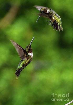 Kids Cartoons - Sword Fight - Ruby-throated Hummingbirds by Cindy Treger