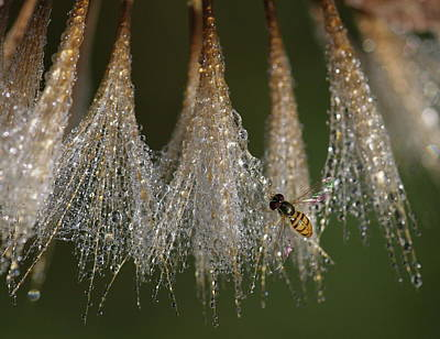 Photograph - Syrphid Fly On A Dewy Morn by Daniel Reed