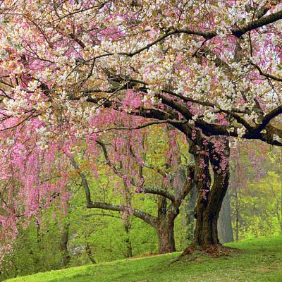 Photograph - Cherry Hillside Grove by Jessica Jenney