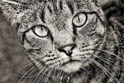 Photograph - Tabby Cat Black And White by Peggy Collins