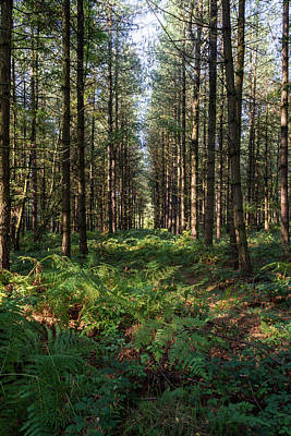 Photograph - Tall Trees In Sherwood Forest by Scott Lyons