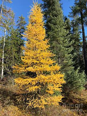 Up Up And Away - Tamarack in Fall by Judy Dimentberg