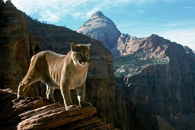 Photograph - Tame Mountain Lion In Zion National by Ralph Crane