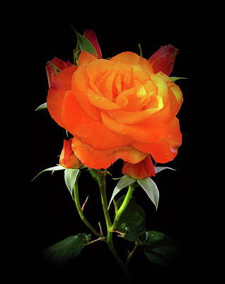 Photograph - Tangerine Rose by Clive Littin