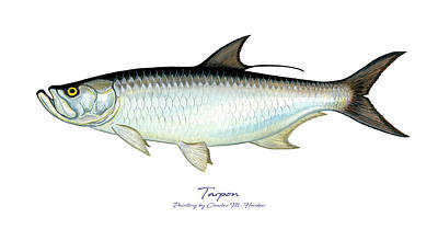 Sports Paintings - Tarpon by Charles Harden