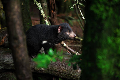 Photograph - Tasmanian Devil Found During The Day In Tasmania. by Rob D