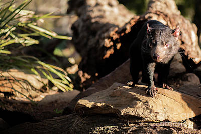 Photograph - Tasmanian Devil Outside During The Day In Tasmania. by Rob D