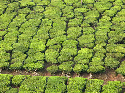 Kerala Photograph - Tea Plantation, Munnar, Kerala, India by Cultura Exclusive/philip Lee Harvey