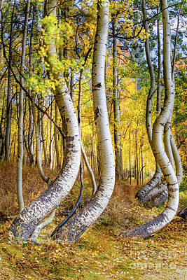 Modern Sophistication Beaches And Waves - Telluride Curved Aspens by Norma Brandsberg