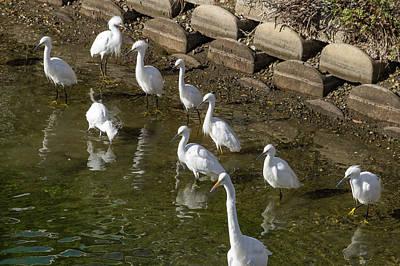 Wall Art - Photograph - Ten Snowy Egrets by Roslyn Wilkins