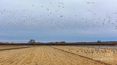 Photograph - Ten Thousand Snow Geese by Susan Warren