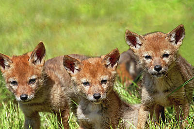Photograph - Terrible Trio - Baby Coyotes by Peggy Collins