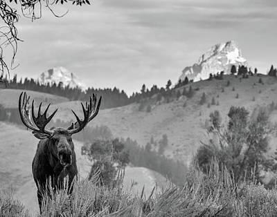 Photograph - Teton Moose by Mary Hone
