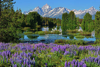 Photograph - Tetons And Lupines by Greg Norrell
