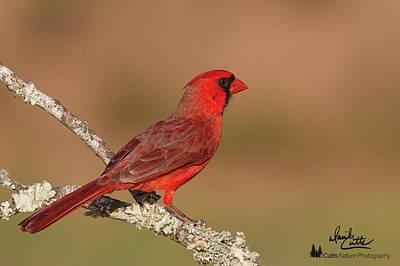 Photograph - Texas Cardinal by David Cutts