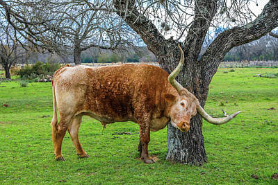 Photograph - Texas Longhorn On The Farm by Dan Sproul
