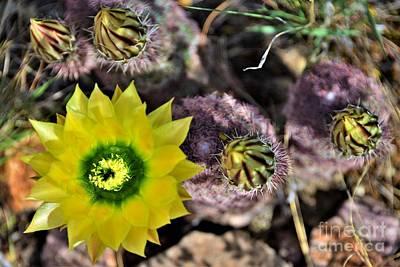 Bath Time - Texas Rainbow Cactus by Dennis Nelson