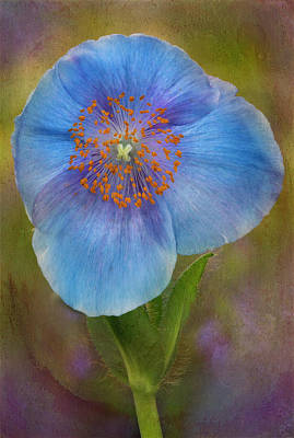 Photograph - Textured Blue Poppy Flower  by Susan Candelario