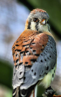 Photograph - The American Kestrel by Kyle Findley