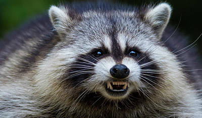 Photograph - The Angry Raccoon by Mircea Costina Photography