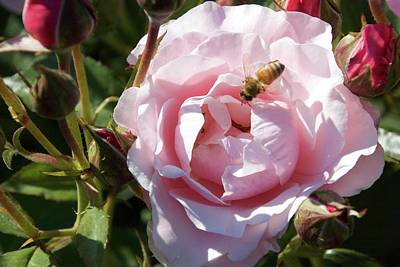 Photograph - The Bees' Fav Rose by Marsha Ingrao