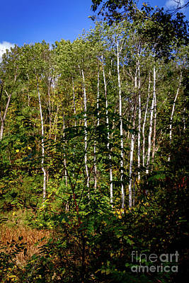 Photograph - The Birches by William Norton