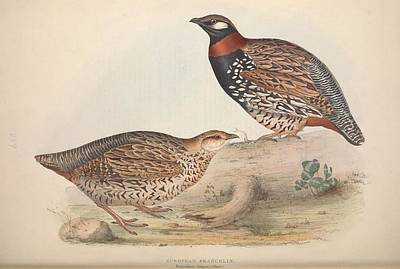 Giuseppe Cristiano - The birds of Europe, London,Printed by R. and J.E. Taylor, pub. by the author,1837 - 139 by Celestial Images