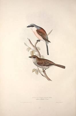Animal Watercolors Juan Bosco - The birds of Europe, London,Printed by R. and J.E. Taylor, pub. by the author,1837 - 303 by Celestial Images