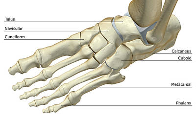 The Bones Of The Foot Art Print by Medicalrf.com