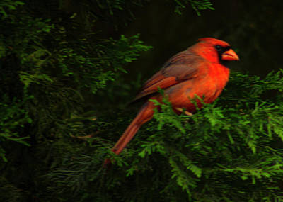 Photograph - The Cardinal by Thomas Vasas