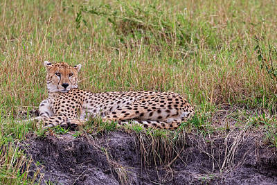 Photograph - The Cheetah Stare by Kay Brewer