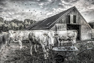 Photograph - The Cows Came Home Black And White by Debra and Dave Vanderlaan
