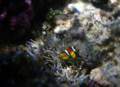 Photograph - The Cute And Small Baby Anemone Fish  by Johanna Hurmerinta