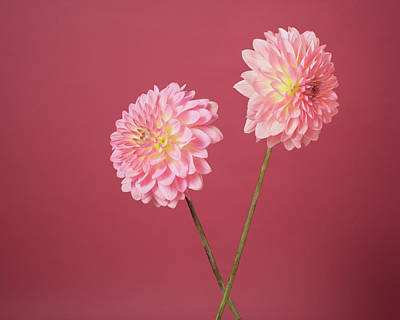 Fragility Photograph - The Dahlia Of Two Flowers by A.t. White
