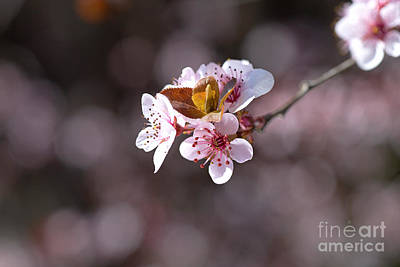 Photograph - The Dance Of The Blossom by Joy Watson