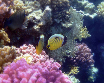 Photograph - The Exquisite Butterflyfish Among Gorgeous Corals by Johanna Hurmerinta