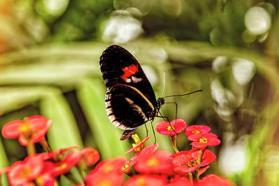 Photograph - The Fascinating Doris Longwing Butterfly by Kay Brewer