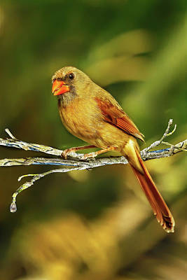 Photograph - The Female Cardinal by Kay Brewer