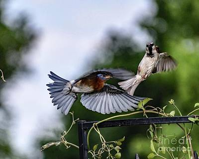 Christmas Christopher And Amanda Elwell - The Flight Dance Of The Eastern Bluebird And House Sparrow by Cindy Treger