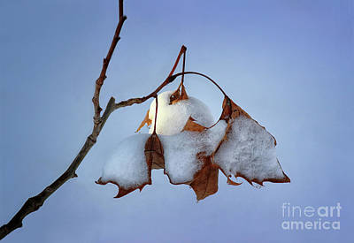 Photograph - The Frailest Leaves by Karen Adams