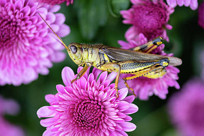 Photograph - The Grasshopper and the Mums by Todd Henson