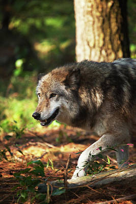 Photograph - The Gray Wolf by Karol Livote